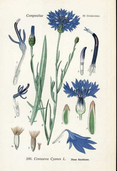 Centaurea Cyanus - Family Asteraceae - Common Names - Bachelor's Buttons, Cornflower, Blue Bonnets, Blue Bow, Blue Poppy, Blue Sailors, Blue Tops, Bluets, Break-your-spectacles, Corn Binks, Cornbottle, Corn Centaury, French Pink, Haw Dods .