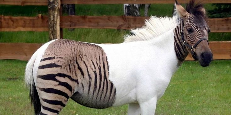 Meet Nature Hybrid: A Zebroid