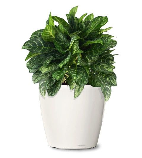 Small Ornamental Plant Calypso Evergreen Aglaonema Web Indoor
