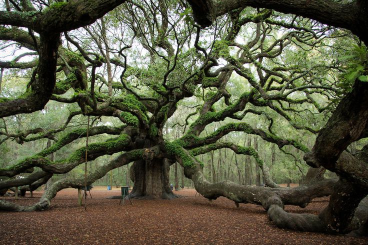 Wild, old, beautiful trees in the U.S. Discover and visit a monumental tree!