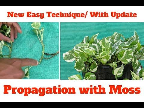 Marble Queen Money Plant Propagation/ New Technique ( with Moss) with Update – Y… – gardening