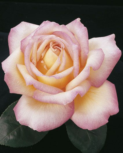 Peace Hybrid Tea Rose - Huge opulent blooms of golden yellow edged in a delicate pink are in abundance on this easy to grow plant. A favorite among many.