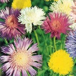 DOFTKLINT i gruppen Ettåriga blomsterväxter / Doftande hos Impecta Fröhandel (8228)