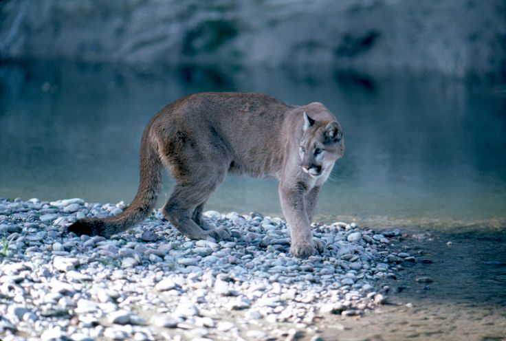 A 40-year-old hiker fended off a stalking cougar….by singing opera? Tuck that one away in your survival skills pocket!
