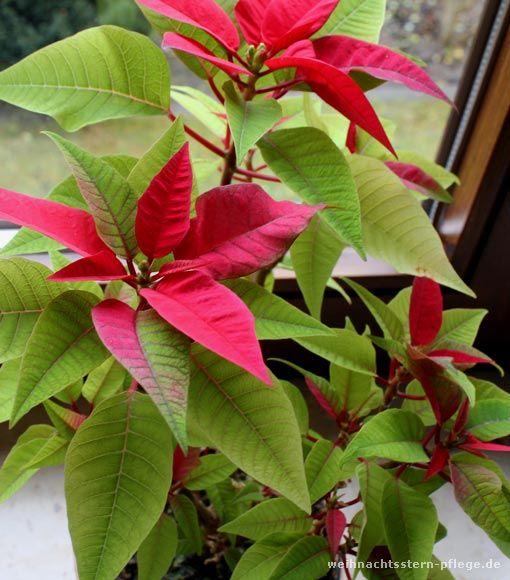 euphorbia pulcherrima - wie bringt man sie über den Sommer?