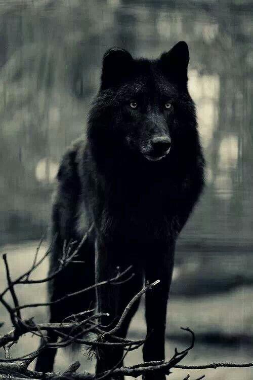 Znalezione obrazy dla zapytania black wolf