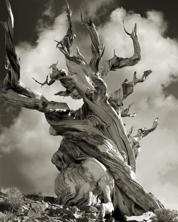 """Bristlecone Pine"""" High in the White Mountains of the Inyo National Forest in California are gnarled bristlecone pines well over 4,000 years old. The Methuselah trail in the Schulman Grove is home to many of these ancient trees. They sprouted during glacial times, fifteen centuries before the birth of Christ. -Discover Magazine"""