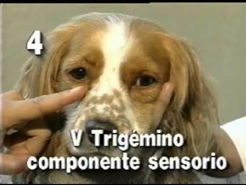 UNAM-Examen neurologico canino part. 2 - YouTube