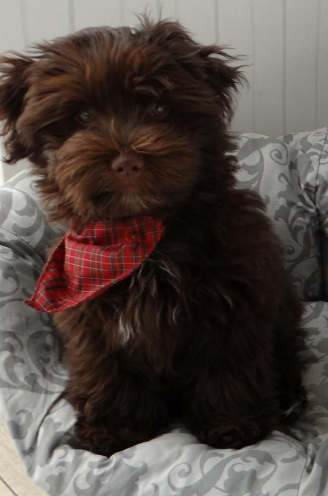 Chocolate Havanese will be my next one and it's name will be Lincoln, whether a male or female.
