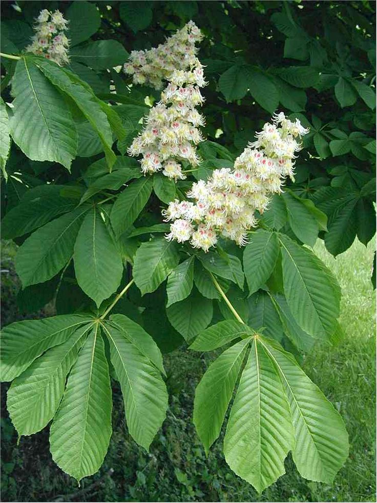 Aesculus hippocastanum - Horse Chestnut. With May flowering this is a beautiful landscape tree. https://www.sheffields.com/seeds-for-sale/Aesculus/hippocastanum///////155/Horse-Chestnut/Horse-Chestnut
