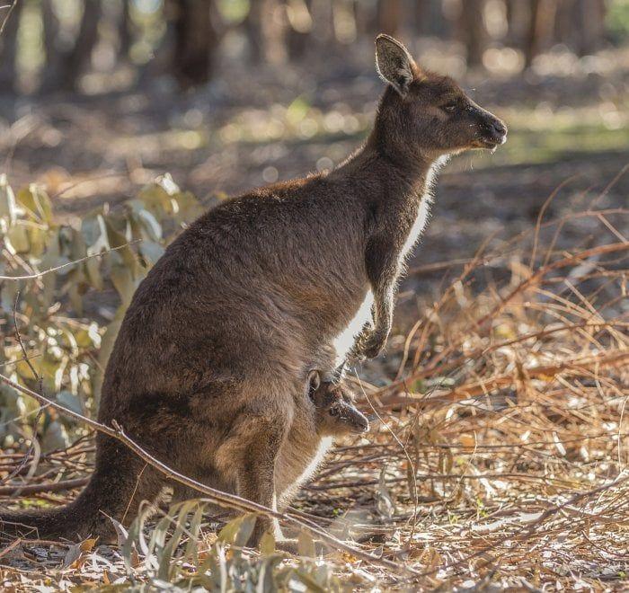 Il santuario naturale di Kangaroo Island: pinguini, canguri, leoni marini e koala in libertà