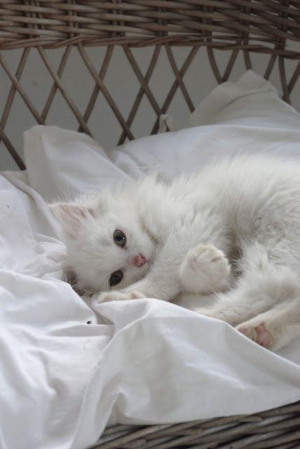 white kitten    Looks just like Andy Katz as a kitten. So very precious. Sara