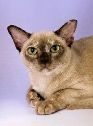 Burmese Cats for Sale I love this one. Click to see more like this!