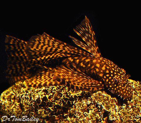 Plecostomus Catfish at AquariumFish.net