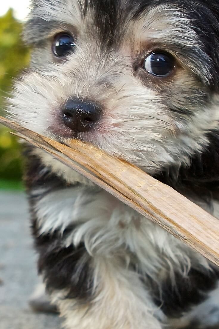 How To Stop My Morkie From Biting Morkie Dogbiting Dogtraining