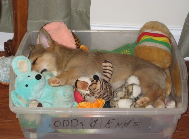 corgi puppy asleep with toy dog breeds picture