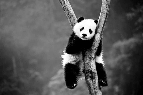 panda panda: Animal Planets,  Pandas Bears, Animal Baby, Baby Animal, Trees, Pandabear,  Coon Bears, Giant Pandas, Beautiful Creatures