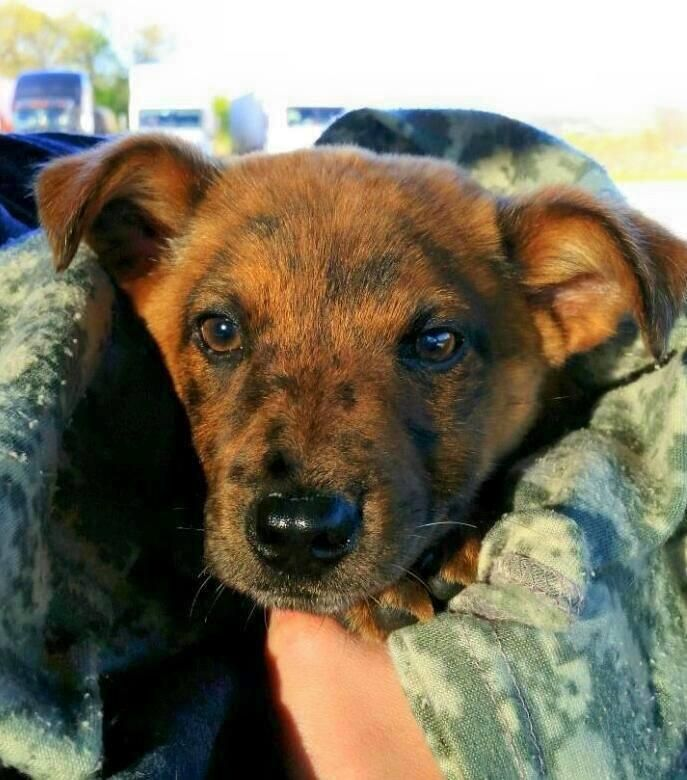 Meet Harvey (Paramore), a Petfinder adoptable Catahoula Leopard Dog Dog | Crocker, MO | Harvey is one precious baby boy! He is about 8 weeks old, possibly a Catahoula mix. He had been...