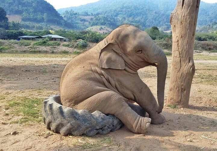Baby Navann, at Elephant Nature Park, Chang Mai, Thailand.