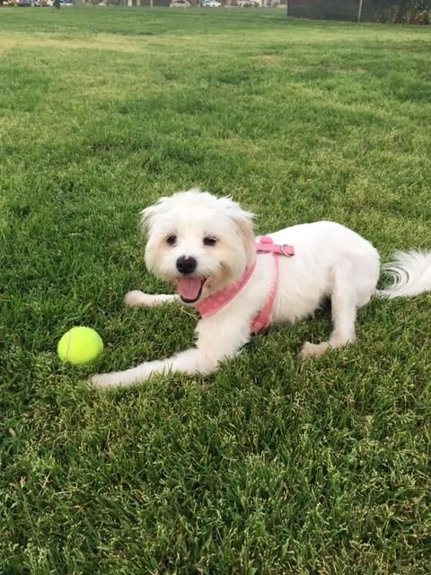 Billie is an adoptable Maltese searching for a forever family near Los Angeles, CA. Use Petfinder to find adoptable pets in your area.
