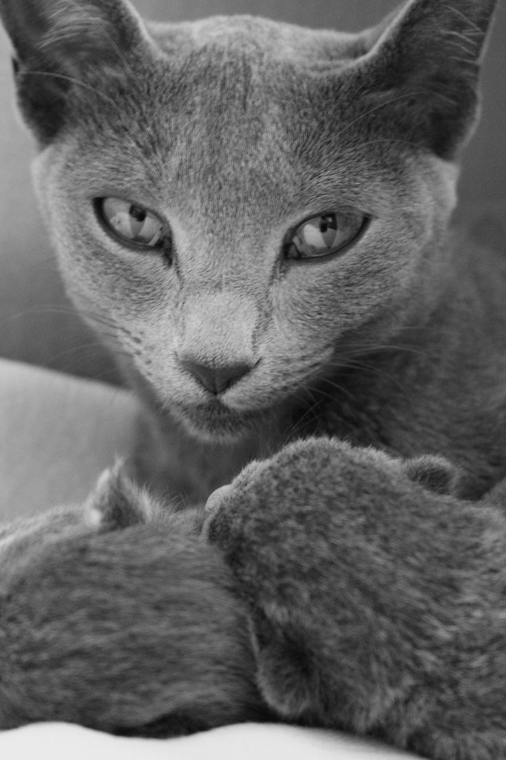 49 best Russian blue images on Pinterest