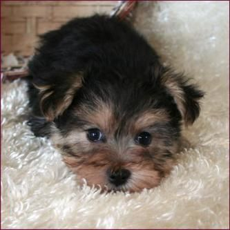Morkie|Yorktese|Yorkie Maltese Puppies for Sale