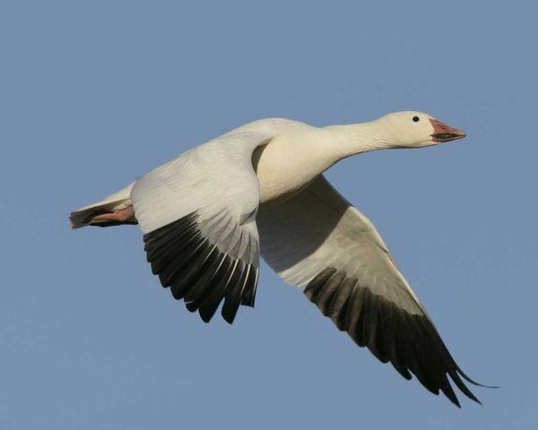 snow goose   Snow Goose Chen caerulescens