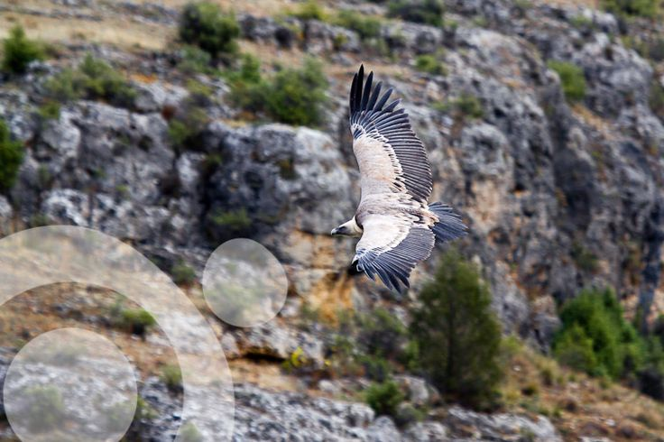 #Birding_in_Spain : One of the 2.000 griffon vulture that every day fly the park. Find all the information to plan your trip to #Hoces_del_Duraton in www.qnatur.com