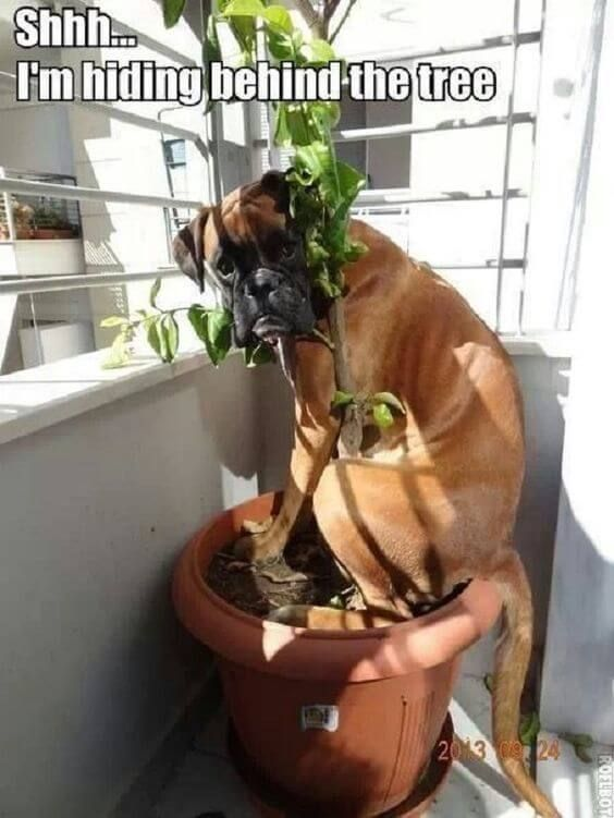 funny boxer dog in potted plant hiding behing tree GoofBall Boxer Poses