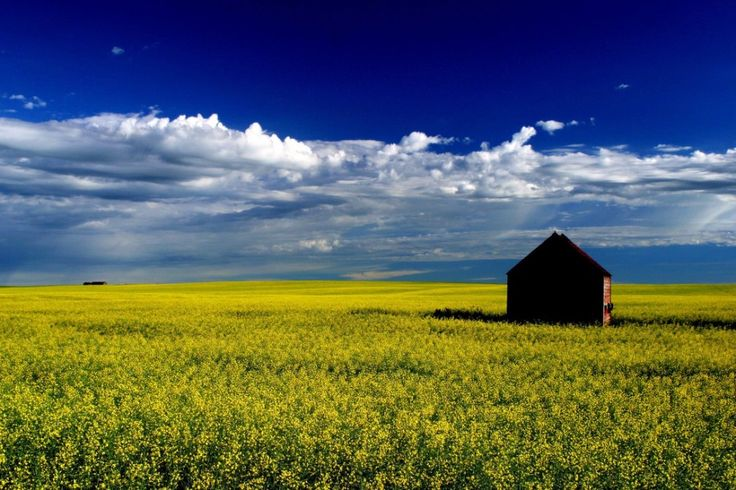 Canadian Canola Field in Northern British Columbia.