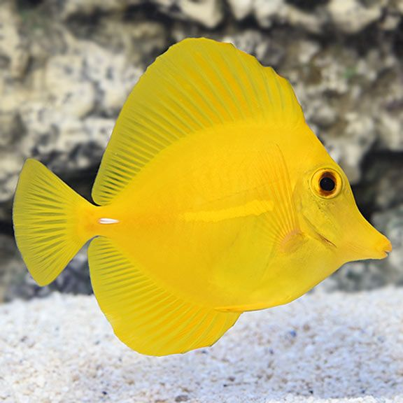 Yellow Tang Hawaii Saltwater Aquarium Fish For Marine Aquariums Saltwater Aquarium Fish Marine Aquarium Pet Fish