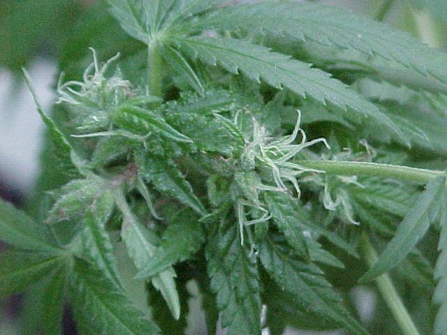 growing marijuana indoor  http://www.growingmarijuanaebook.com/