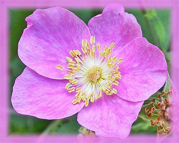 California Wild Rose Flower Essence Nature S Remedies Flower Essences Rose Flower Wild Roses