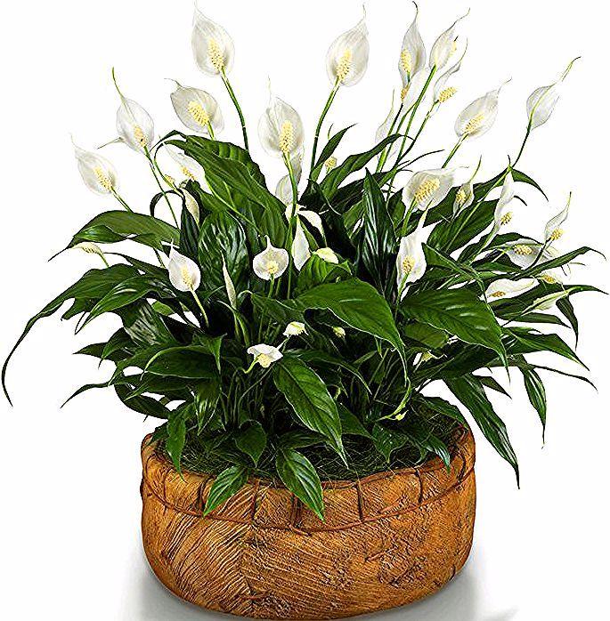 Spathiphyllum Hr Mirni Ljiljan Prociscaac Zraka House Plants Plants Indoor Plants