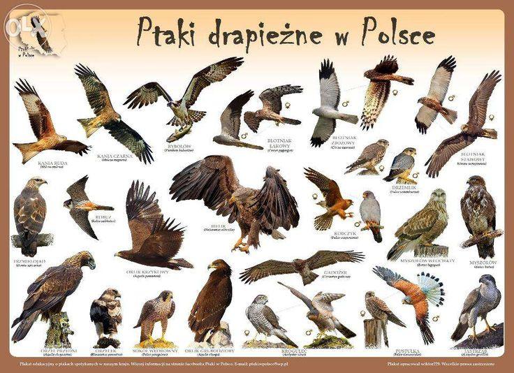 Plakaty edukacyjne Ptaki w Polsce Szczecin Śródmieście • OLX.pl (dawniej Tablica.pl)