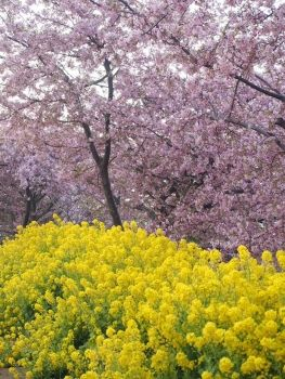 Kawazu Sakura and Field mustard. 河津桜 と 菜の花