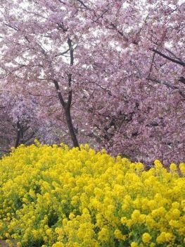 Kawazu Sakura and Field mustard. 河津桜 と 菜の花