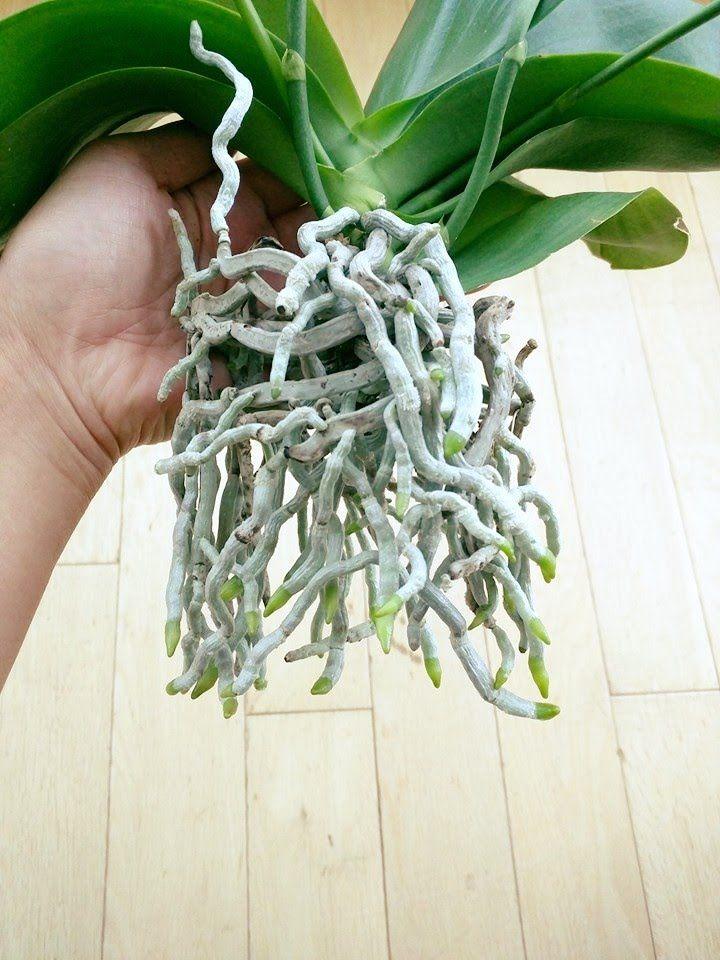 1421 Best Images About Orchid Plants On Pinterest