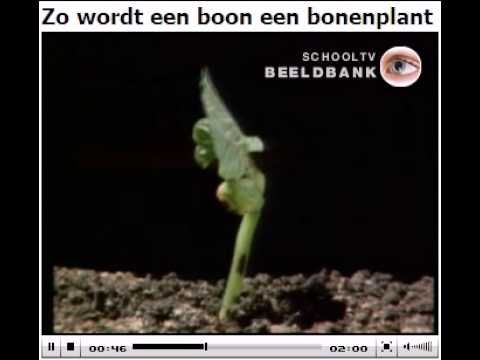 ▶ Groei kieming boon - YouTube