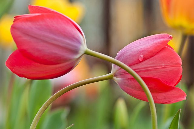 Tulips. Aren't these beautiful?! You should check out the board: Beautiful Places.