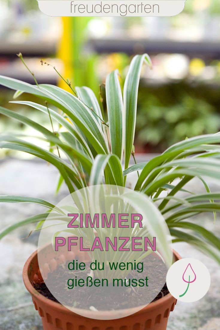 Zimmerpflanzen Die Wenig Wasser Brauchen Zimmerpflanzen Pflanzen Pflegeleichte Zimmerpflanzen