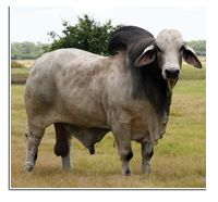 V8 Ranch Brahman Cattle in Boling and Hungerford, Texas