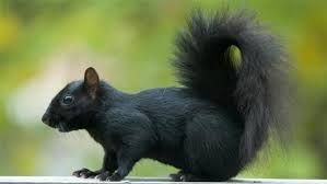 Black squirrel (lives on Langeland and Fyn in Denmark)