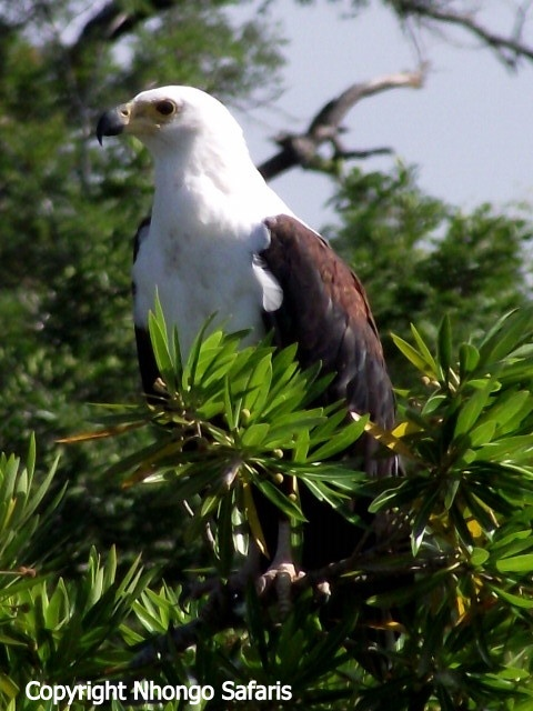 African Fish Eagle.