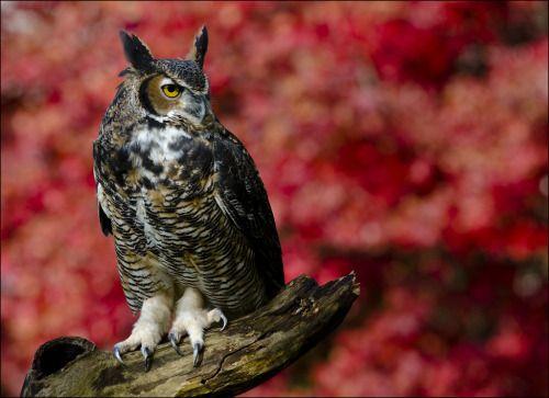 """owlsday: """"Большая рогатая Сова Джен Сент-Луис на Flickr. """""""
