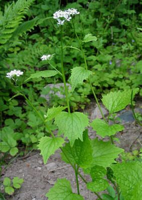 LØKURT - Alliaria petiolata