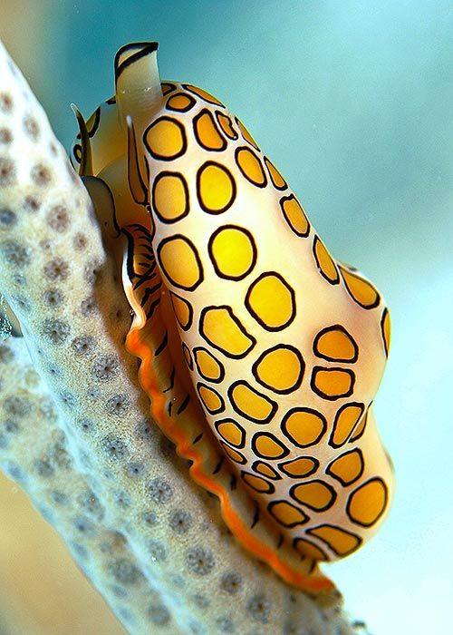 Flamingo Tongue (snail), Cyphoma Gibbosum, St. John, US Virgin Islands
