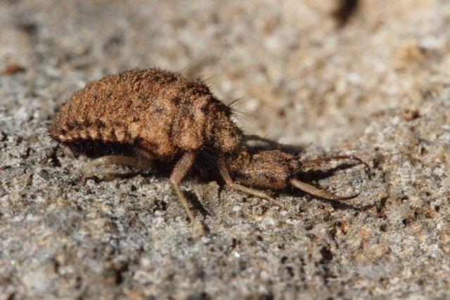 Личинка муравьиного льва  Муравьиный лев — гроза вредных насекомых