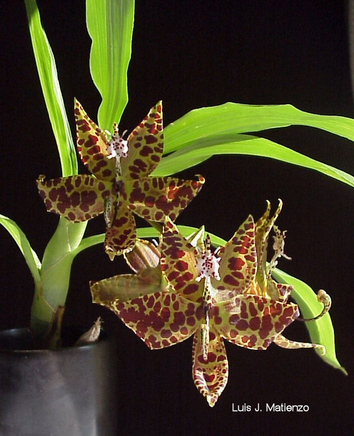 Southern Tier Orchid Society (STOS) NY