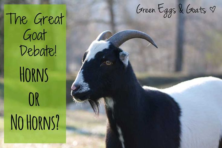 Few subjects get goat owners riled up like the topic of goat horns. Here are both sides of the story on the goat horn debate.